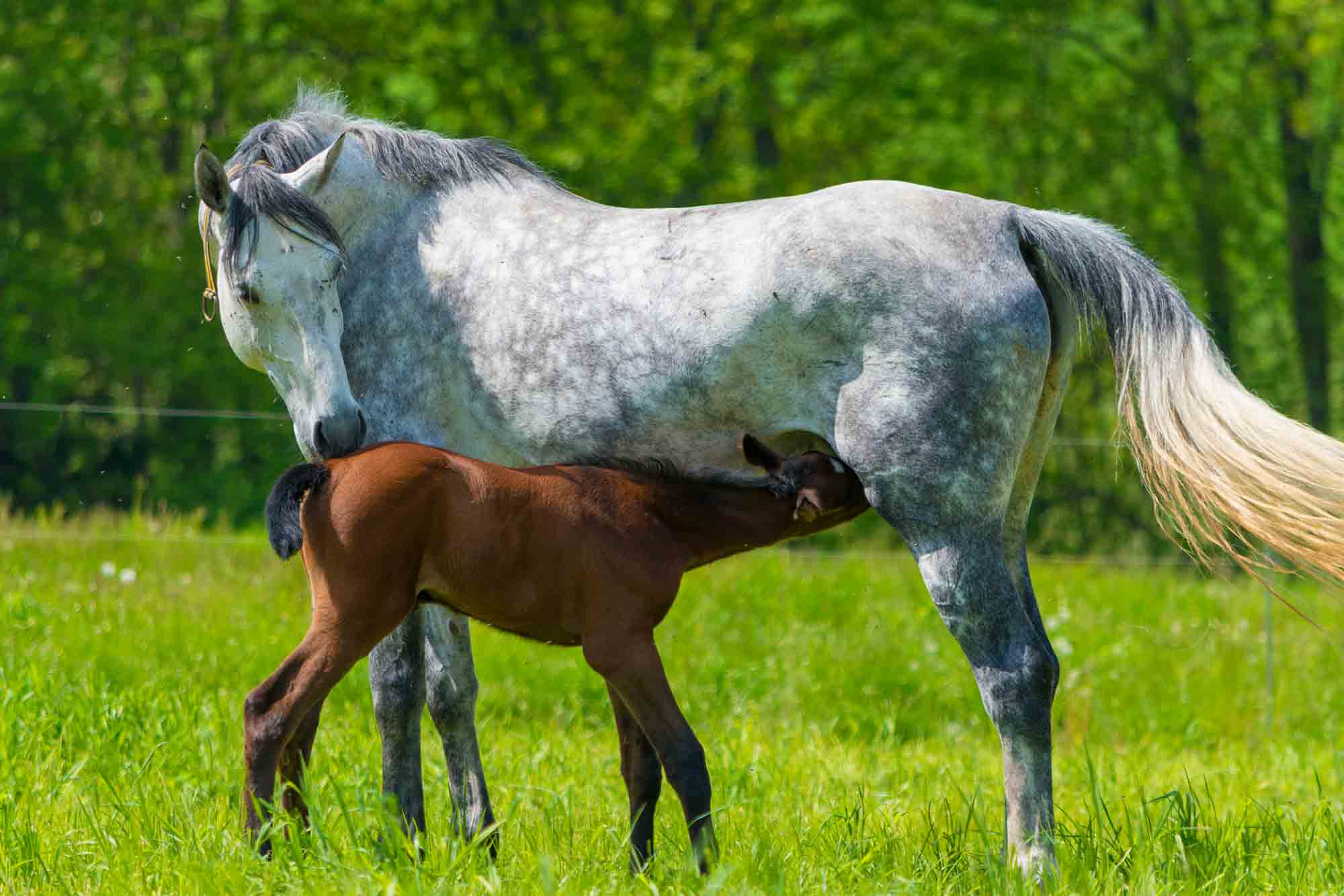 White horse with suckling foal
